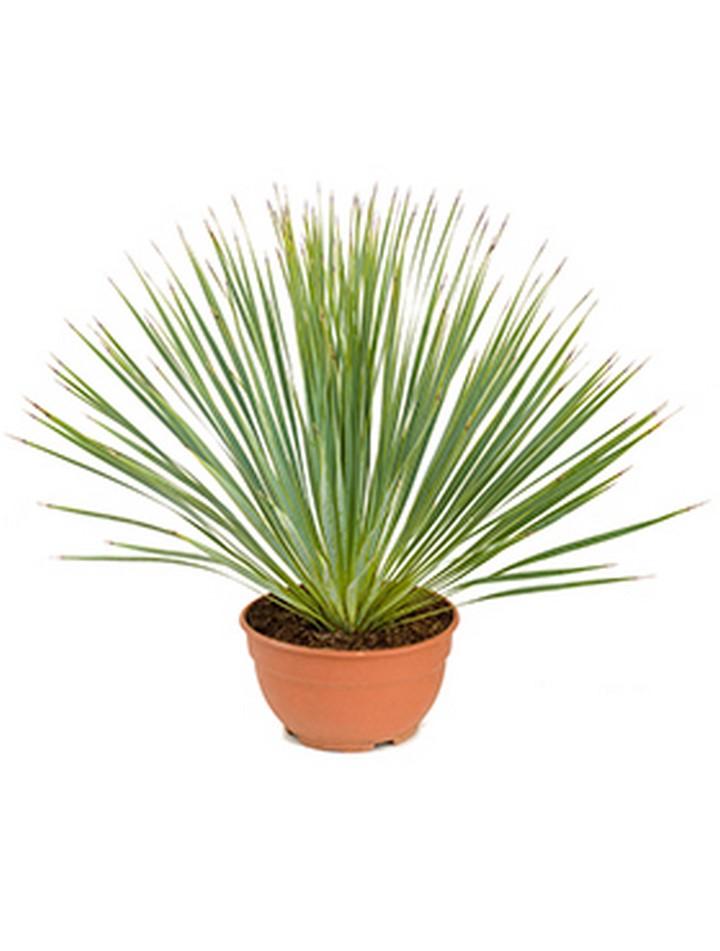 Agaven online bestellen die palme for Dekorationsartikel bestellen