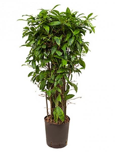 Dracaena surculosa 90 cm - Drachenbaum Busch