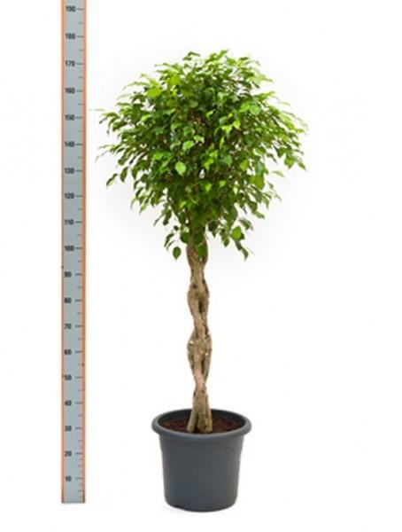 Ficus benjamina - Birkenfeige geflochten