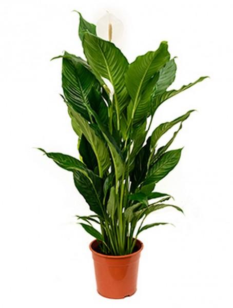 Spathiphyllum sweet sebastiano 120 cm