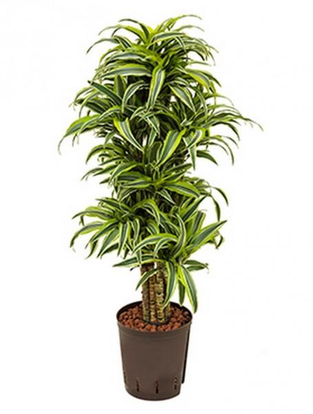 Dracaena surprise | Drachenbaum 85 cm