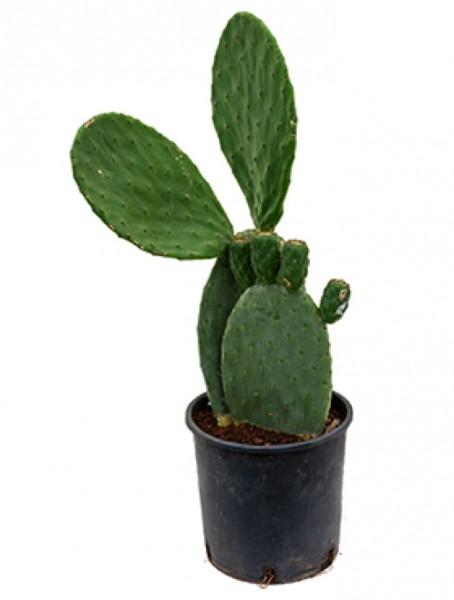 Opuntia indica 70 cm