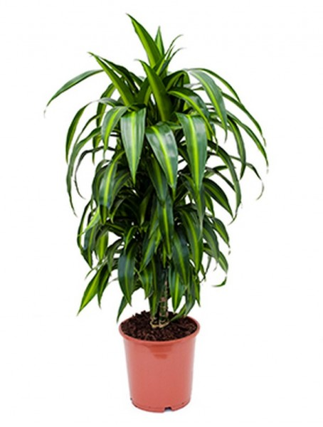 Dracaena hawaiian sunshine | Drachenbaum
