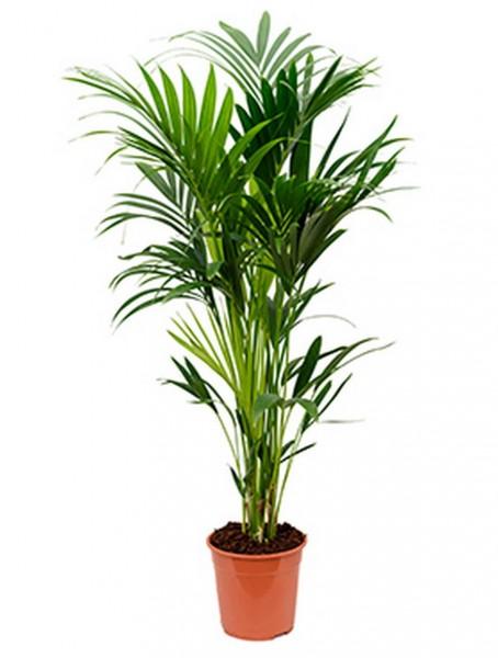 Kentia forsteriana 140 cm