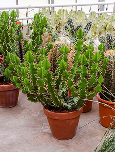 Euphorbia grandilata 90 cm | Busch verzweigt