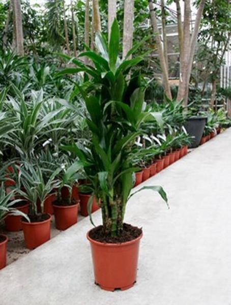 Dracaena janet lind 110 cm | Drachenbaum