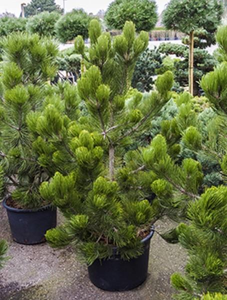 Pinus heldreichii satellit 150 cm