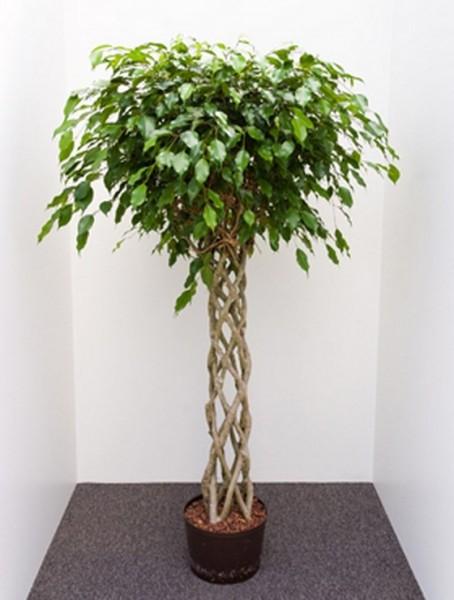 Ficus benjamina 170 cm   Birkenfeige window