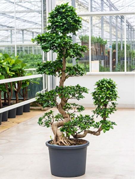 Ficus microcarpa compacta Bonsai 170-190 cm