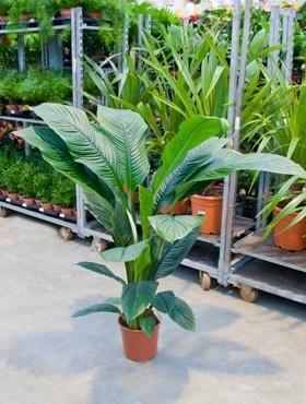 Spathiphyllum sensation | Einblatt