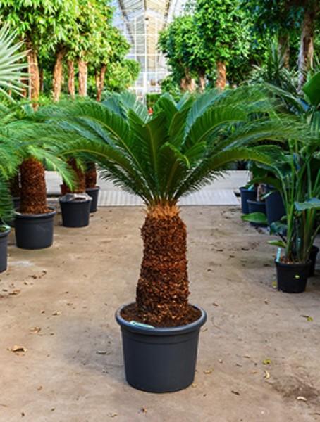 Cycas revoluta 140 cm - Palmfarn
